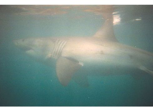 A great white shark swims slowly past our cage