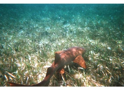 A nurse shark hugs the ocean floor
