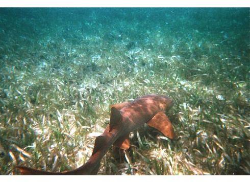 A nurse shark hugs the ocean floor