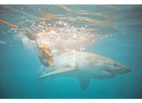 A great white shark swims past the decoy, Cape Town